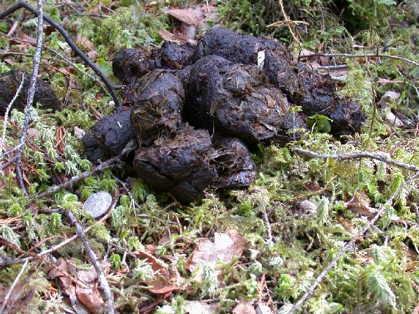 What do bear droppings look like