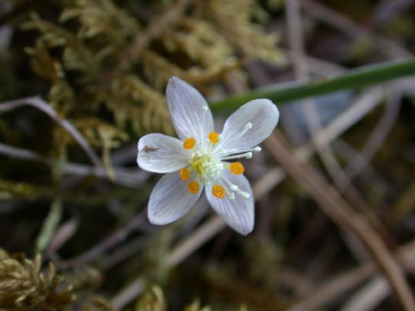 Threeleaved Goldthread Flower  Coptis Trifolia