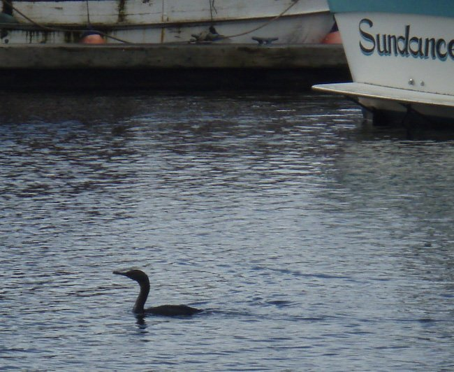 Cormorant in Harbor