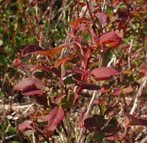red leaves on blueberry plants, Natural flower