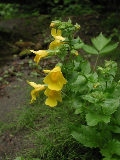 Yellow monkey flower mimulus guttatus yellow monkey flower mimulus guttatus 49044 bytes mightylinksfo